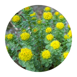 prevention plus rhodiola
