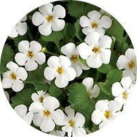 bacopa for better sleep and promoting a calm state of mind