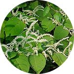 abiotic japanese knotweed