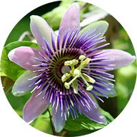 passion flower for relieving nervous tension and restoring normal sleep