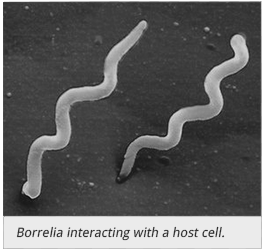 Borrelia interacting with a host cell
