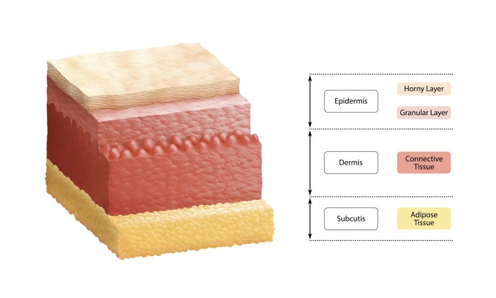 skin_cross_section-2