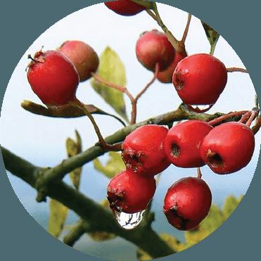 red hawthorn berries