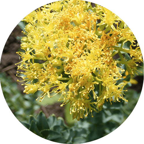 evitalize ingredients_Rhodiola rosea