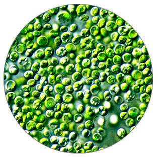 Chlorella nutrient Chlorella Growth Factor