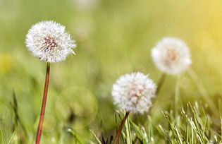 Dandelion flowers in spring - life coach concept, web banner with copy space