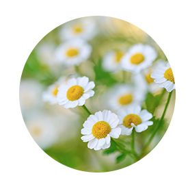 Revival Bitters ingredients_Chamomile Flower
