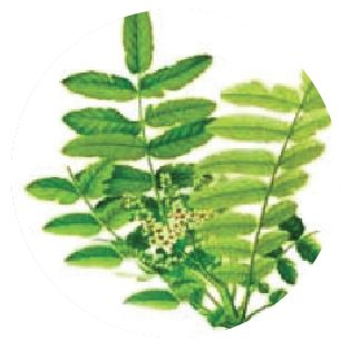 Herbal ProActive ingredient Boswellia Extract