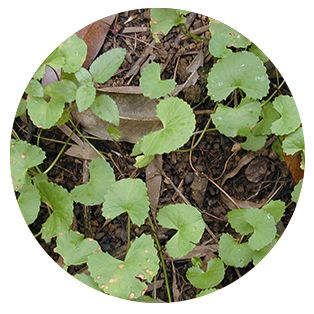 Herbal ProActive ingredient Gotu Kola Extract