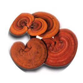mushroom reishi