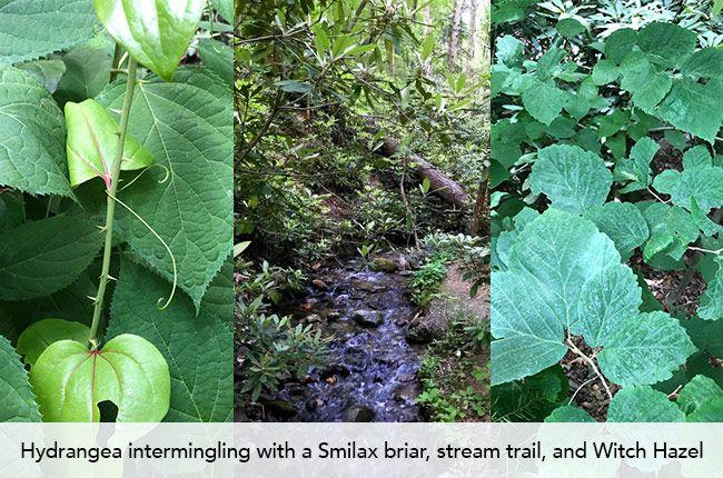 Hydrangea intermingling with a Smilax briar, stream trail, and Witch Hazel