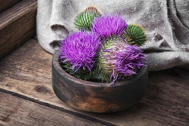 Wild medicinal plant thistle on wooden background