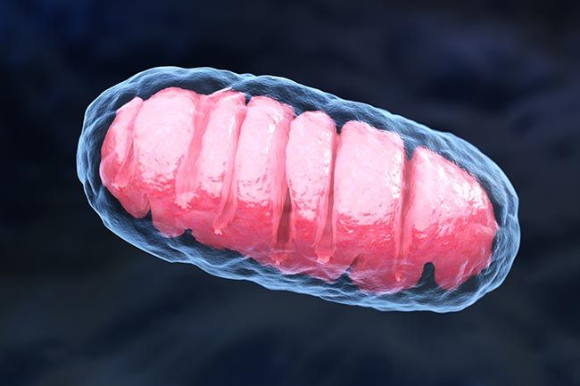 Mitochondria is a double membrane-bound organelle. 3D illustration