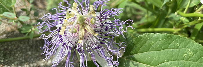 close up photograph of passionflower